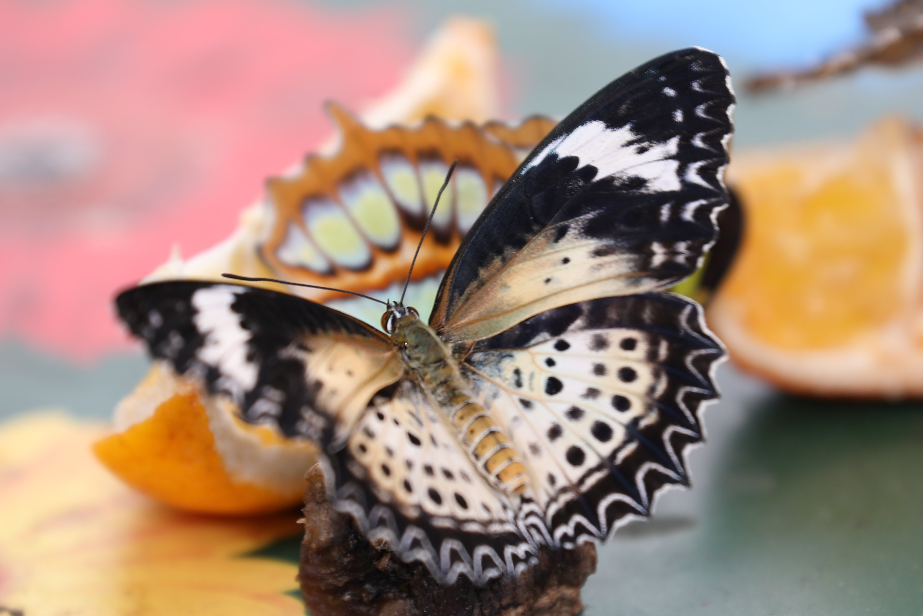 Butterfly Feeding
