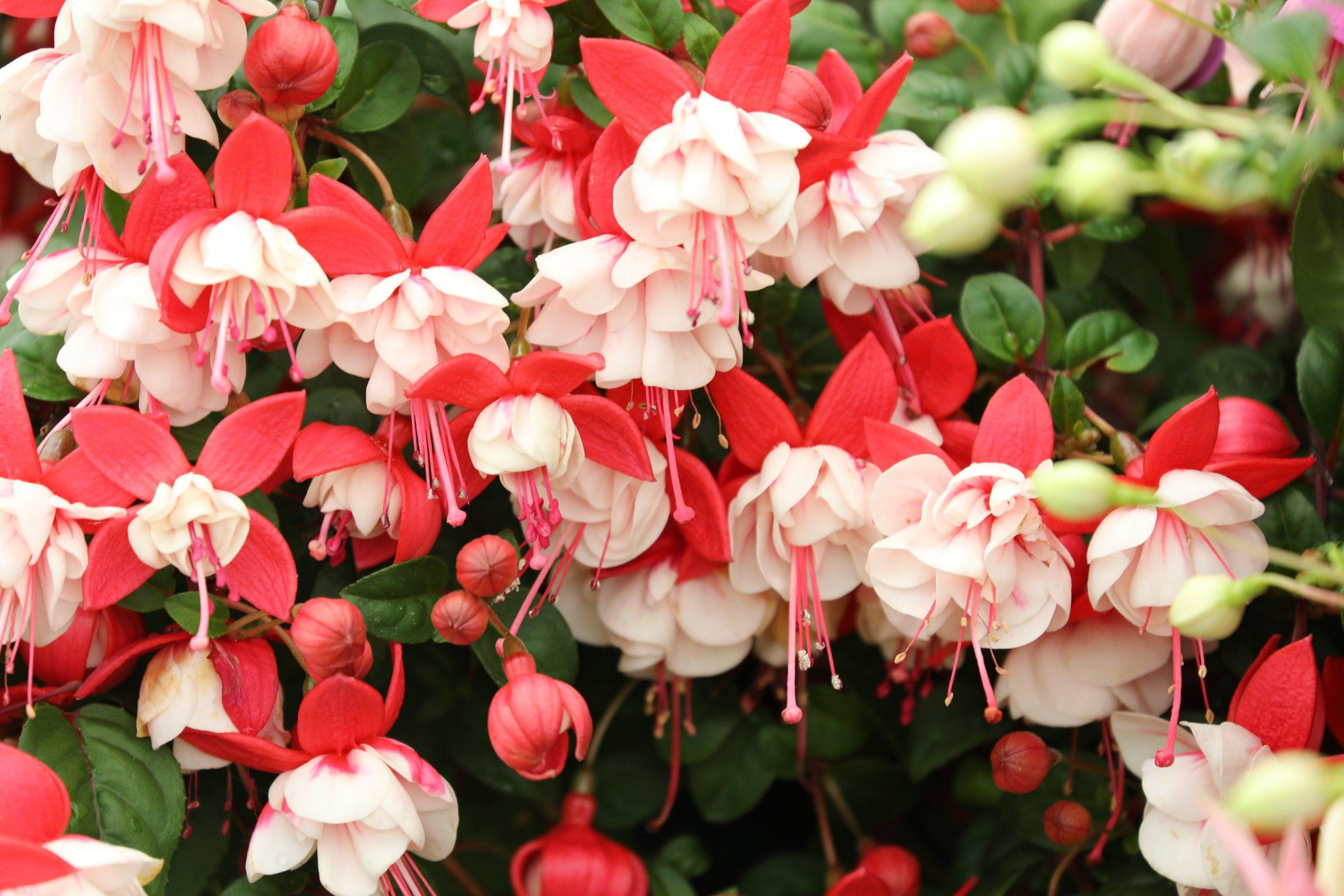 Red and white fuschia