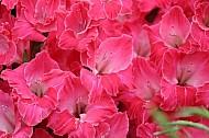 Pink gladiolia