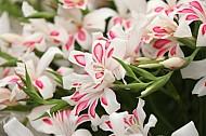 White gladiolia