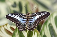 Mexican bluewave butterfly